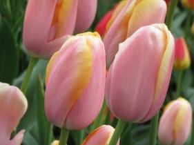 Tulip Belle du Monde