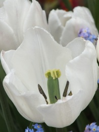 Tulip white forget me not