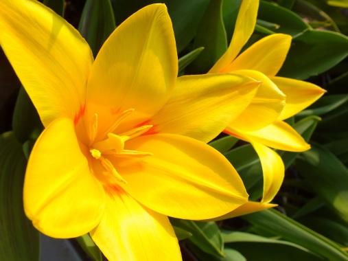 Tulipa Guissepi Verdi