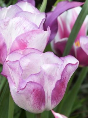 Tulipa Shirleys Dream