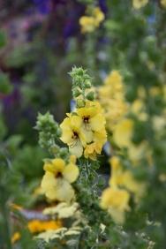 Verbascum Buttercup