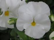 Viola b