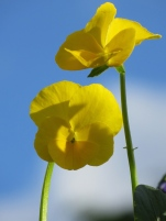 Viola Buttercup scented