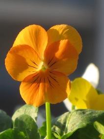 Viola Citrus