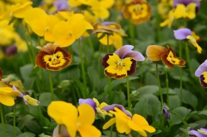 Viola Mixed 1