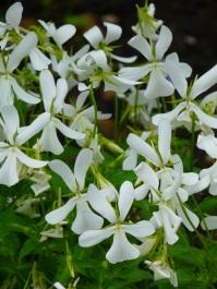 Viola odorata Purrissima