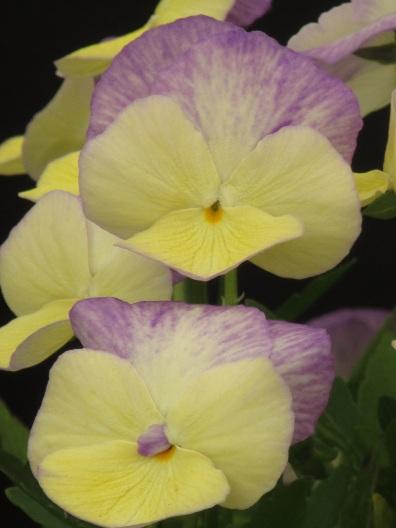 Viola perennis Isobel