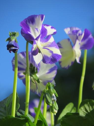 Viola Rebecca scented