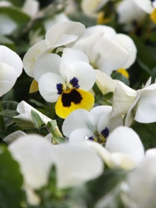 Viola white yellow
