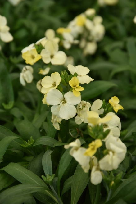Wallflower Sugar Rush Primrose
