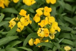Wallflower Sugar Rush Yellow