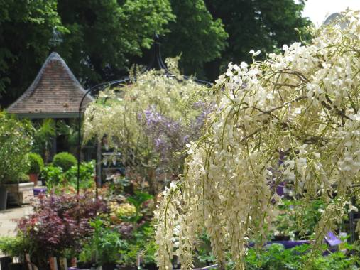 Wisteria at Syon