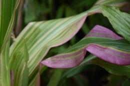 Zea japonica Variegata