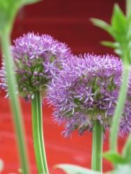 Allium Pinball Wizard (2)