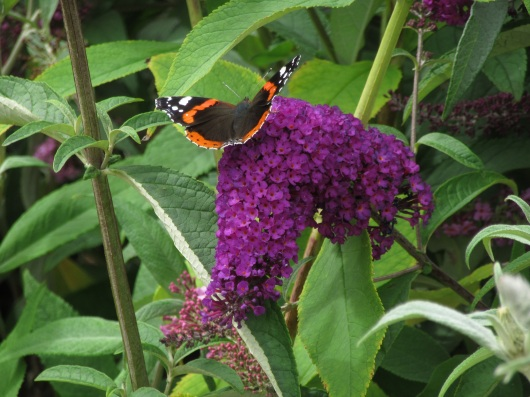 Buddleja davidii Purple Chip 3