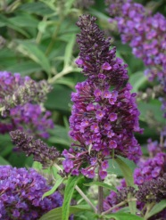 Buddleja davidii Purple Chip