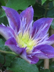 Clematis Crystal Fountain