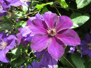 Clematis Happy Birthday Zohapbi