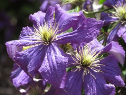 Clematis Rhapsody Fretwell