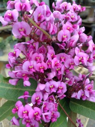 Hardenbergia Pink