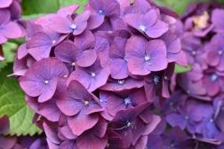 Hydrangea macrophylla Brugg