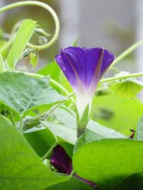 Ipomoea Star of Yelta