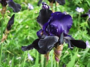 Iris Black Swan