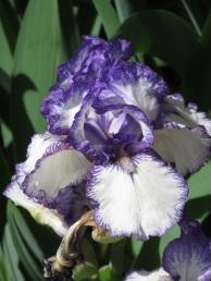 Iris Bold Print