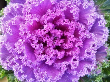 Kale ornamental3