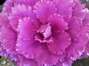 Kale ornamental5