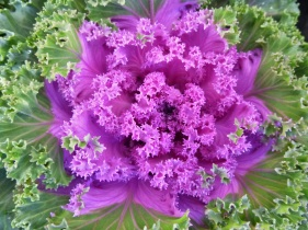 Kale ornamental7