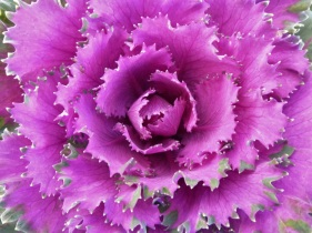 Kale ornamental8