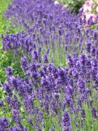 Lavender Hidcote (2)