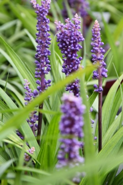 Liriope muscaril Lilac Wonder
