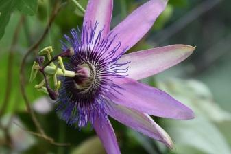 Passiflora Amethyst