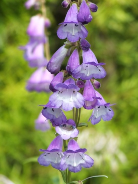 Penstemon Alice Hindley (3)