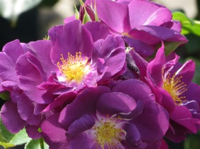 Rosa Rhapsody in Blue 1