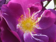 Rosa Rhapsody in Blue (2)