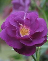 Rosa Rhapsody in Blue Frantasia