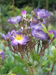 Rosa Veilchenblau 1