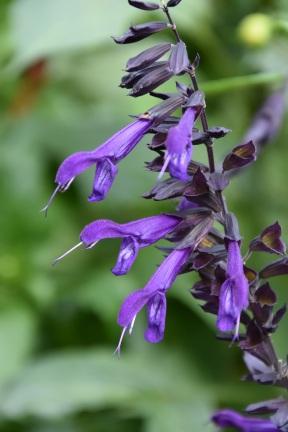 Salvia Amistad 3 (2)
