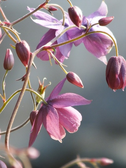Semi aquilegia Sugar Plum Fairy 1