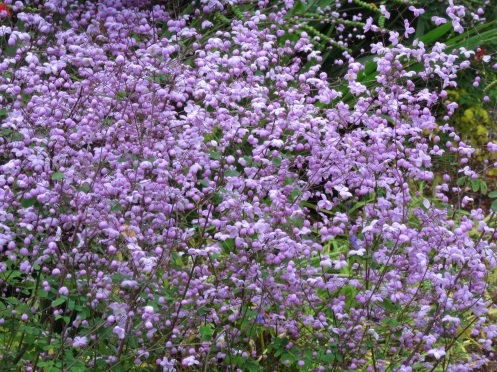 Thalictrum Splendide 1
