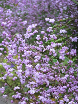 Thalictrum Splendide 3