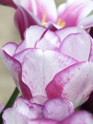 Tulips Shirleys Dream 1