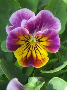 Viola Antique Shades