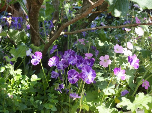 Viola Columbine with Geraniums