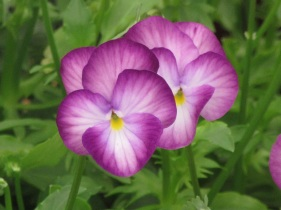Viola perennis Rosy Raynes