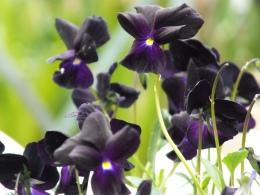 Viola Roscastle Black