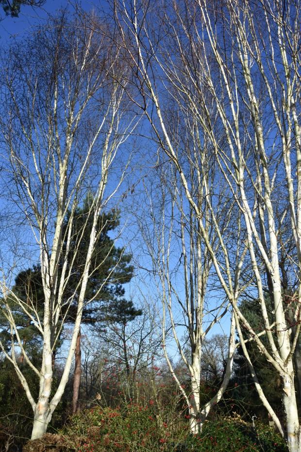 Betula jacquemontii var utilis